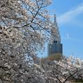 咲きほこる首都の桜