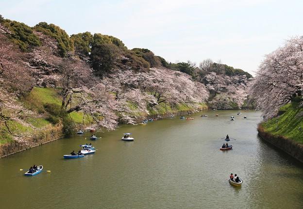Photos: 千鳥ヶ淵の桜の美観