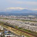 写真: 桜咲く壮大な絶景