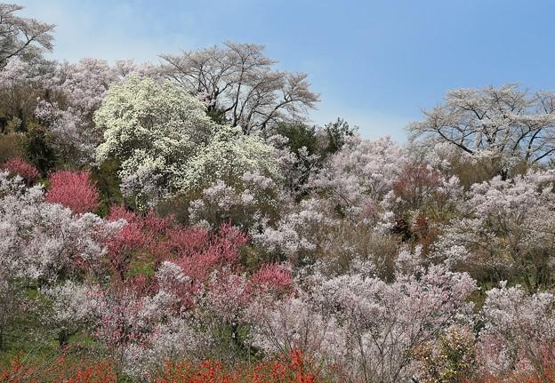 写真: 桃源郷の花見山