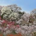 桃源郷の花見山