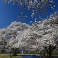 写真: 杜の都のお花見処