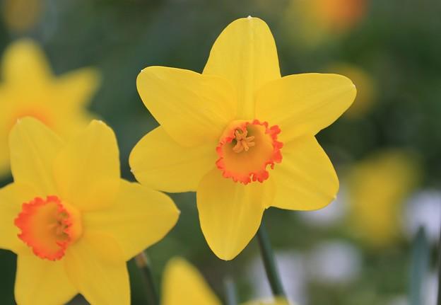 写真: 笑顔で咲く水仙