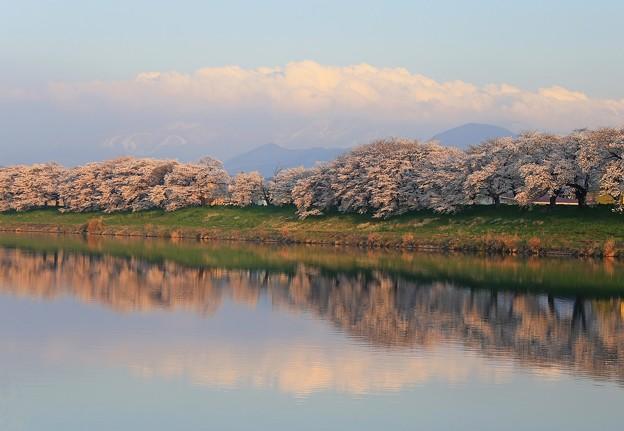 写真: 朝陽浴びた千本桜