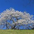 写真: 青空に咲く一本桜