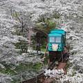 写真: お花見列車に乗って