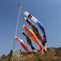 写真: 風に泳ぐ鯉のぼり
