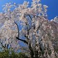 写真: 咲き誇る紅しだれ桜