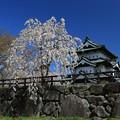 写真: 桜と城の味わい深さ