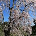 写真: 鮮麗な桜