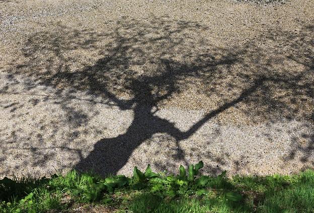 写真: 影 桜