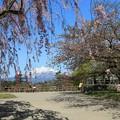 写真: 北国の遅い桜祭り