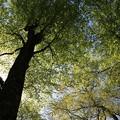 写真: 白神山地ブナの巨木