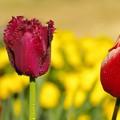 写真: 鮮麗なチューリップ