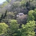 原生林に咲く山桜