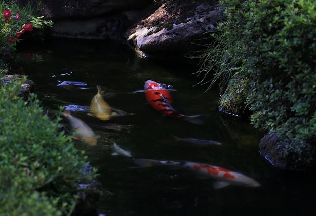 写真: 錦鯉物語