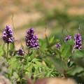 写真: 蔵王に咲く高山植物