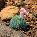 写真: 蔵王に咲く駒草