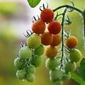 写真: 家庭菜園のトマト