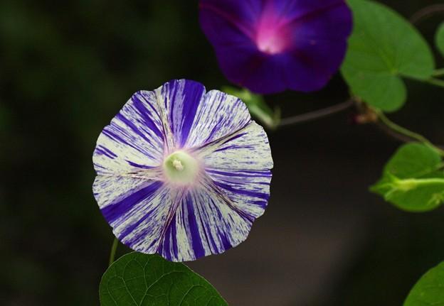 写真: 夏の終わりに咲く