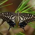 写真: 蝶は松葉がお好き