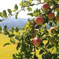 写真: 林檎の詩