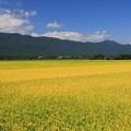 写真: 黄金色の田んぼ