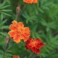 写真: 鮮やかに咲いて