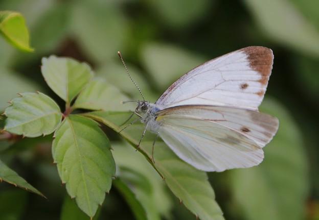 写真: 野原を舞う蝶