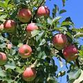 写真: 待ちわびた林檎
