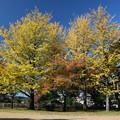 写真: 銀杏美しい西公園