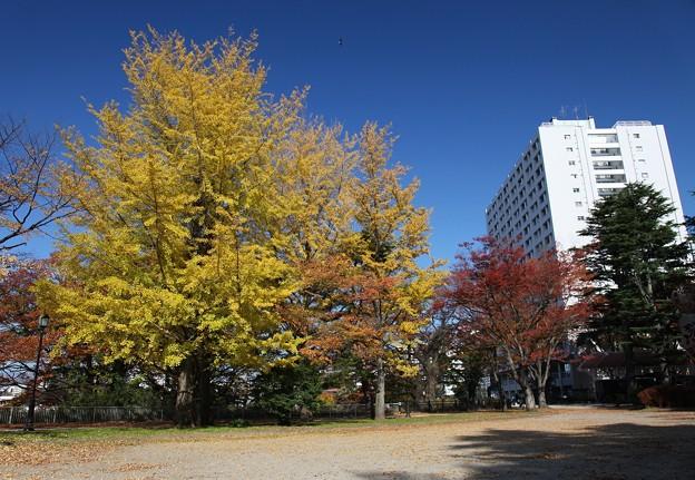 Photos: 銀杏巨木の美しさ
