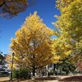 写真: 銀杏美しい公園