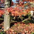 写真: モミジ散る季節