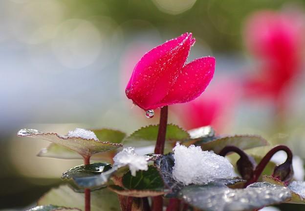写真: 雪 雫