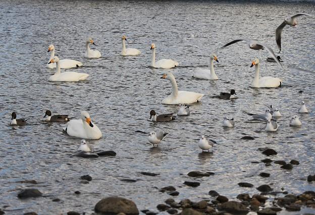 写真: 白鳥集う広瀬川