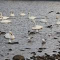 Photos: 白鳥集う広瀬川