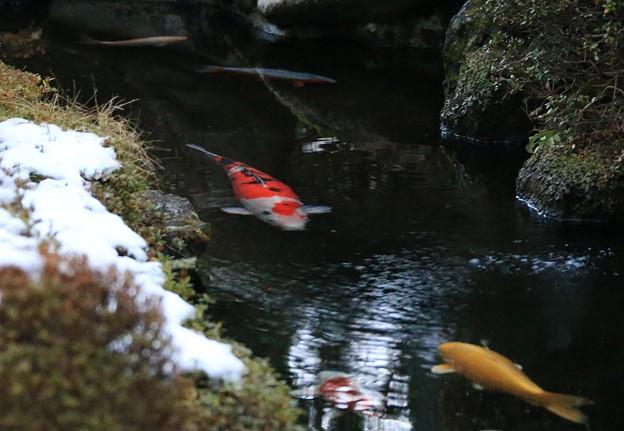写真: 冷水を泳ぐ