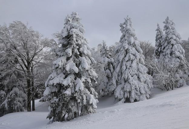 写真: 雪の林