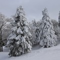 Photos: 雪の林