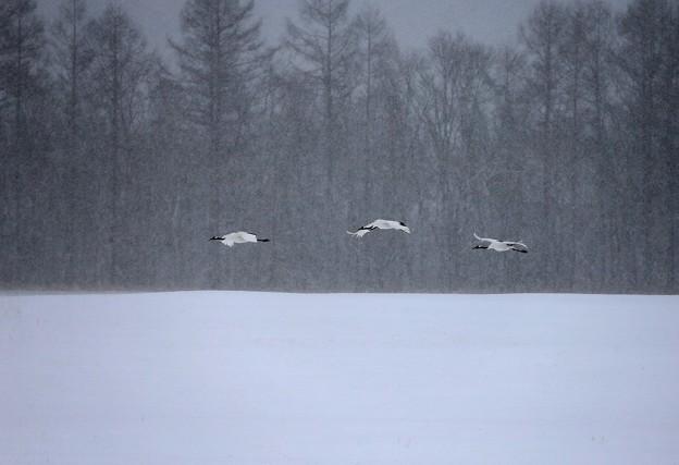 吹雪の湿原飛ぶ丹頂