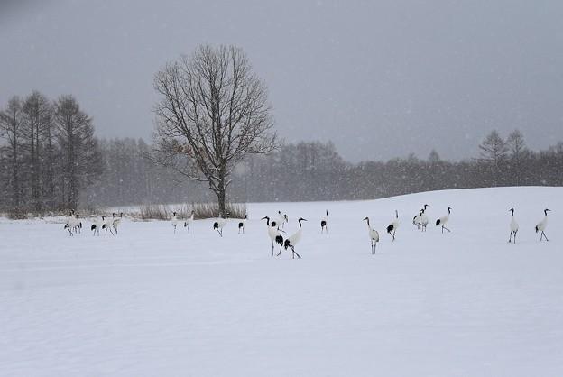 写真: 雪原の丹頂鶴