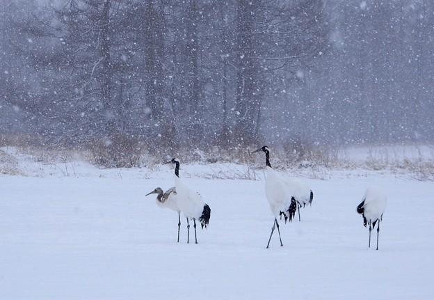 写真: 雪中の丹頂鶴