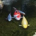 写真: 池の錦鯉