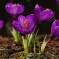 写真: クロッカス咲く春