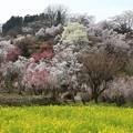 写真: 花見山の美しさ