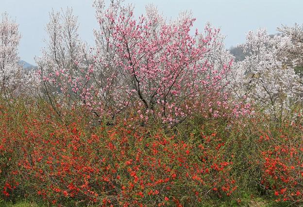 写真: 春爛漫