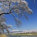 写真: 壮美な一目千本桜