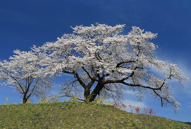 Photos: 桜美の詩