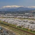 Photos: みちのく桜紀行
